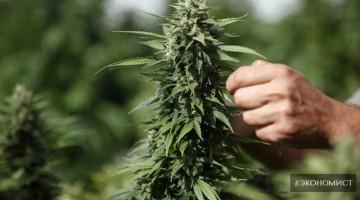 Израиль стал лидером в производстве марихуаны